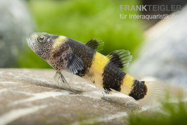 Goldringelgrundel, Brachygobius doriae (Minifisch)