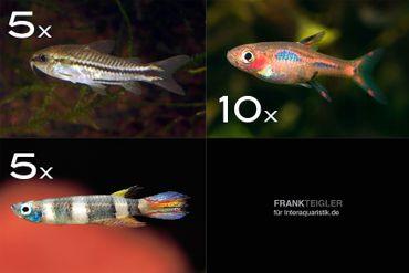 Zierfisch-Sortiment Minifische für Becken ab 60 cm