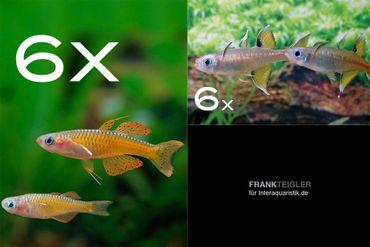 Zierfisch-Sortiment Regenbogenfische für 60 cm