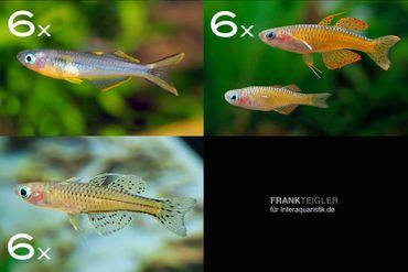 Zierfisch-Sortiment Regenbogenfische für 80 cm