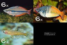 Zierfisch-Sortiment Regenbogenfische für 100 cm