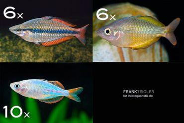Zierfisch-Sortiment Regenbogenfische für 120 cm