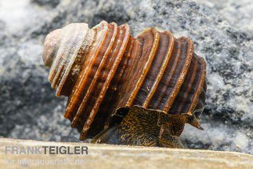 Turboschnecke, Celetaia persculpta – Bild 1