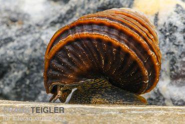 Turboschnecke, Celetaia persculpta – Bild 2