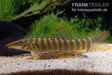 Rotflossen-Tigerschmerle, Syncrossus berdmorei – Bild 1