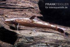 Gecko-Schmerle, Homaloptera bilineata
