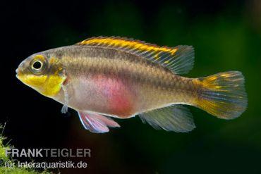 Purpurprachtbarsch, Pelvicachromis pulcher S