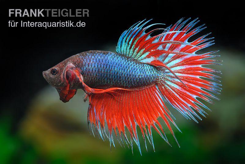 Crown tail kampffisch rotblau m nnchen betta splendens for Kampffisch betta splendens