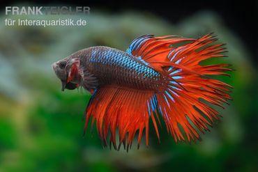 Crown Tail Kampffisch rotblau, Männchen, Betta splendens – Bild 2