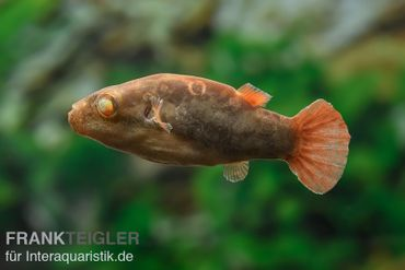 Kammkugelfisch, Carinotetraodon irrubesco (Rotschwanzkugelfisch) – Bild 1
