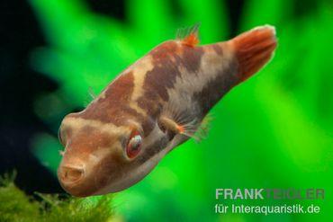 Kammkugelfisch, Carinotetraodon irrubesco (Rotschwanzkugelfisch) – Bild 3