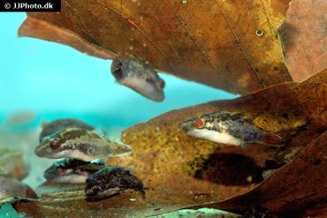 Kammkugelfisch, Carinotetraodon irrubesco (Rotschwanzkugelfisch) – Bild 2