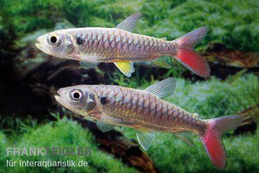 Rotflossen-Glanzsalmler, Chalceus erythrurus