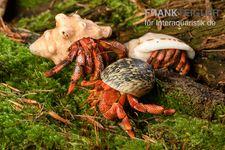 Bundle: 3x Erdbeer Landeinsiedlerkrebs, Coenobita perlatus (3 Tiere)
