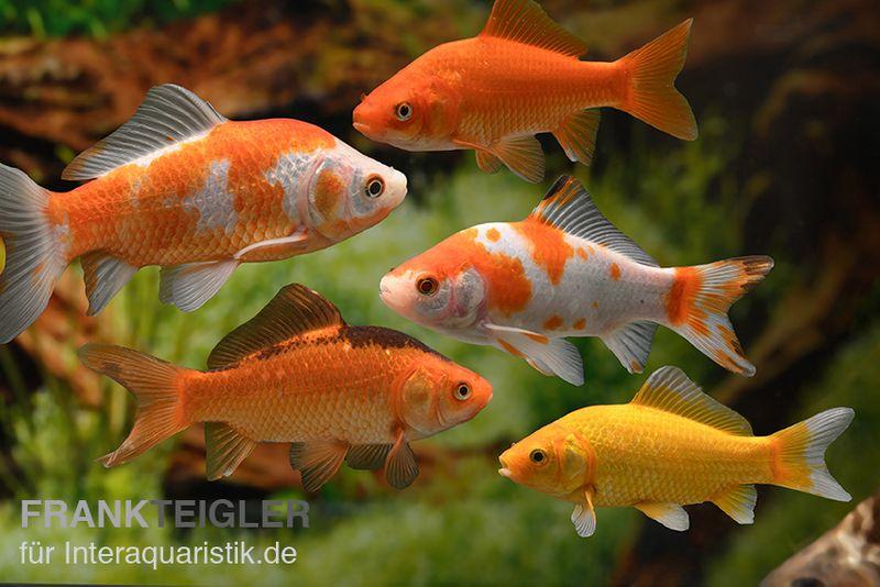 5x goldfisch im mix carassius auratus 4 7 cm kaltwasser for Kleine teichfische arten