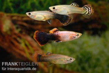 Guppy Zucht-Mix 1, Poecilia reticulata, 1M 3W