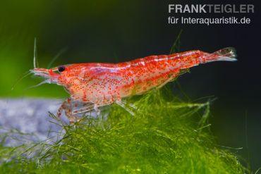 Bundle: 10x Red Fire Garnele, Neocaridina davidi rot + Moos