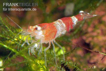 Bundle: 10x Crystal Red Garnele, Caridina logemanni + Moos – Bild 1