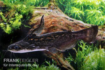 Wurzelwels, Trachelyopterus fisheri