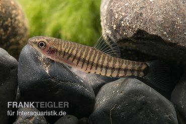 Zwerg-Tigerschmerle, Yunnanilus cruciatus – Bild 2