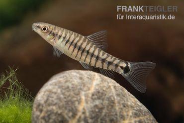 Zwerg-Tigerschmerle, Yunnanilus cruciatus – Bild 1