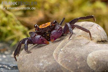 Schwarzfuss-Vampirkrabbe, Geosesarma sp. 'Black leg' – Bild 1