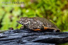 Chinesische Weichschildkröte, Pelodiscus sinensis – Bild 3