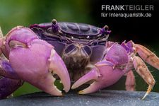 Lila Spider Crab, Neosarmatium sp. Purple – Bild 3