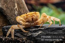 Fire-Crab, Holthuisana cf. lipkei – Bild 1
