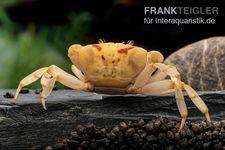 Fire-Crab, Holthuisana cf. lipkei – Bild 2