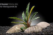 Bucephalandra spec. Silver Eagle, lose