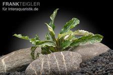 Bucephalandra spec. APC Marble, lose
