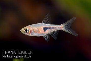 Espes Bärbling, Rasbora espei (Minifisch)