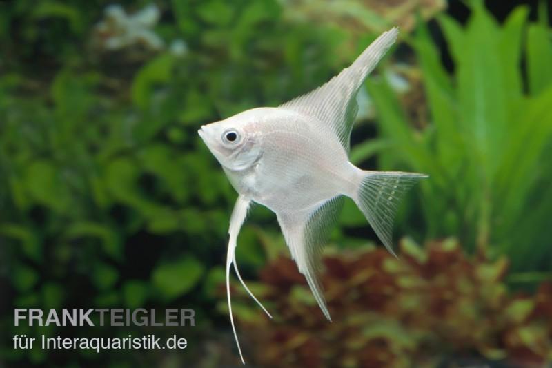 Platin skalar pterophyllum scalare tiere zierfische for Gartenteichfische arten