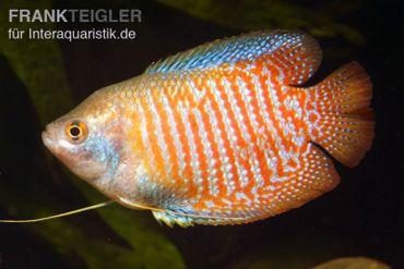Zwergfadenfisch natur, Colisa lalia