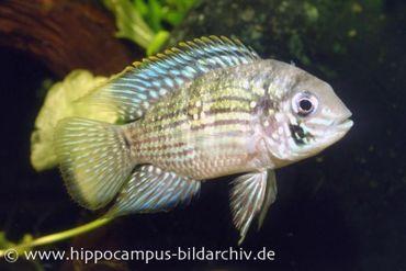 Blaupunktbuntbarsch, Aequidens pulcher, 4-6cm
