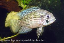Blaupunktbuntbarsch, Aequidens pulcher, 4-5 cm WF