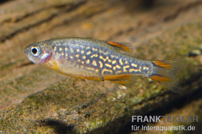 Perlhuhnb rbling danio margaritatus minifisch tiere for Asiatische zierfische