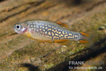 Perlhuhnbärbling, Danio margaritatus (Minifisch)