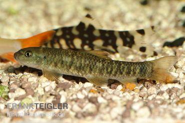 Kangal-Knabberfisch, Garra rufa – Bild 2