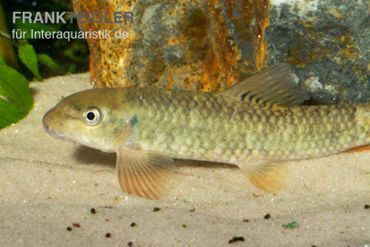 Kangal-Knabberfisch, Garra rufa – Bild 1