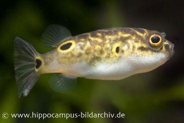 Augenfleck-Kugelfisch, Tetraodon biocellatus, 3 cm