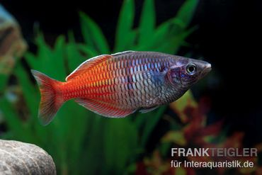 Boesemans Regenbogenfisch rot, Melanotaenia boesemani RED, DNZ