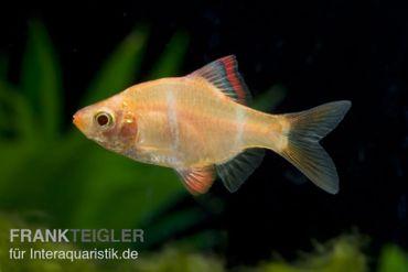 Sumatrabarbe gold, Barbus tetrazona, DNZ