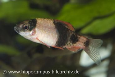 Glühkohlenbarbe, Barbus fasciatus