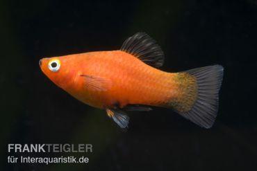Roter Wagtail-Platy, Xiphophorus maculatus