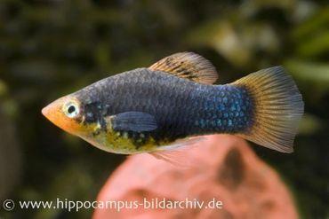 Platy Schwarz, Xiphophorus maculatus
