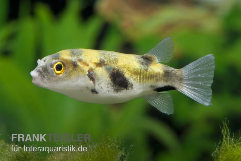 Papagei-Süsswasserkugelfisch, Colomesus asellus (Rarität)