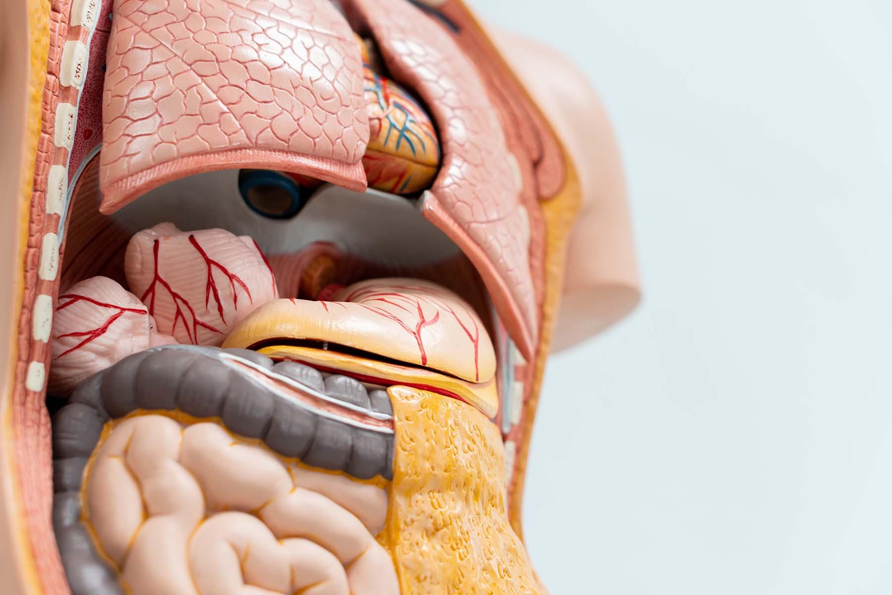 Organmodelle