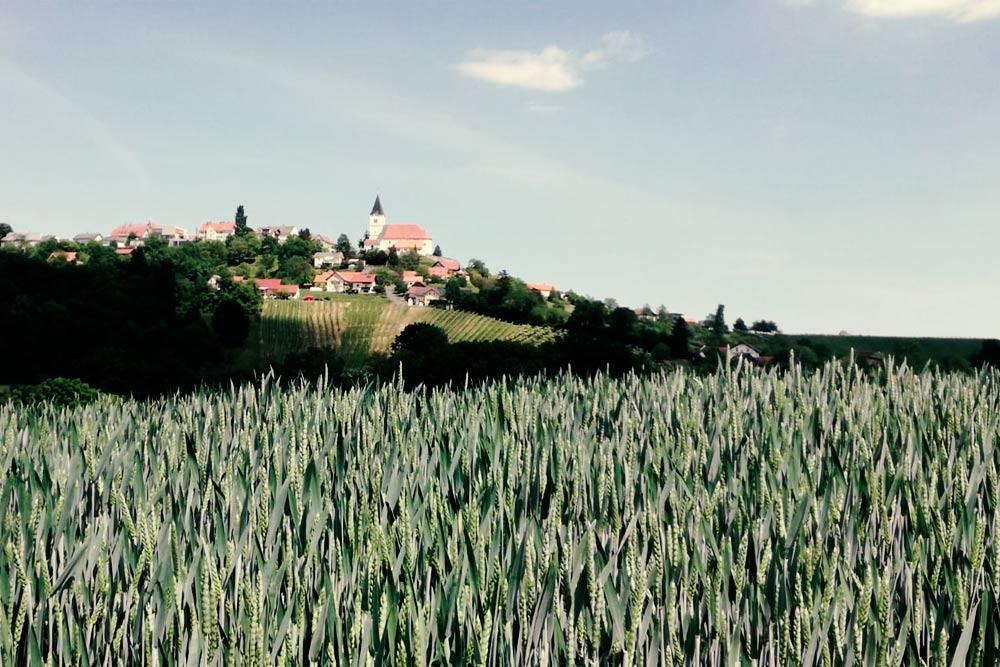 Sengers Weizenkeime Feld